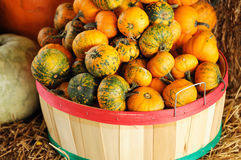 New harvested pumpkins in container. New harvested small pumpkins in container Royalty Free Stock Photos