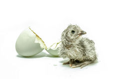 New hatched chicken Royalty Free Stock Photography