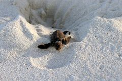 New hatched sea Turtle crawling out of the nest royalty free stock photography