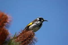 New Holland Honeyeater. A New Holland Honeyeater Perching on a Banksia at the Grampians National Park, Victoria, Australia Stock Images