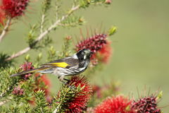 New Holland Honeyeater Royalty Free Stock Photo