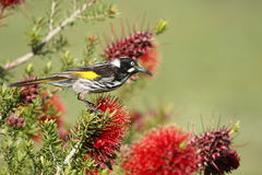New Holland Honeyeater Stock Photography