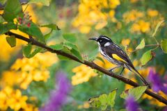 New Holland Honeyeater Bird With Colourful Flowers stock photo