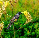 New Holland honeyeater bird is eating from a flower royalty free stock photo