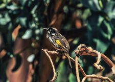 New Holland Honeyeater bird. On branch of Grevillea spider flower stock photo