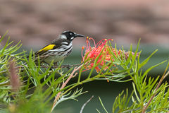 New Holland Honeyeater bird perching on a branch of Grevillea spider Stock Photos