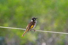 New Holland Honeyeater bird perching on a wire in Australia Royalty Free Stock Images