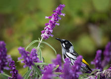 New Holland Honeyeater in Mexican Bush Sage stock photos