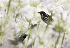 New Holland Honeyeaters (Phylidonyris novaehollandiae) in Agapanthus Royalty Free Stock Photography