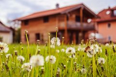 New home: Dandelion flowers in front of a house, springtime. Faded dandelion flowers in foreground, blurry house in the background new home spring springtime stock photography