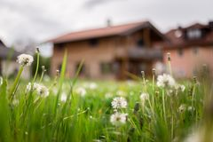 New home: Dandelion flowers in front of a house, springtime. Faded dandelion flowers in foreground, blurry house in the background new home spring springtime royalty free stock image