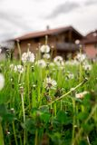 New home: Dandelion flowers in front of a house, springtime. Faded dandelion flowers in foreground, blurry house in the background new home spring springtime royalty free stock photos