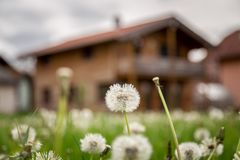 New home: Dandelion flowers in front of a house, springtime. Faded dandelion flowers in foreground, blurry house in the background new home spring springtime royalty free stock images