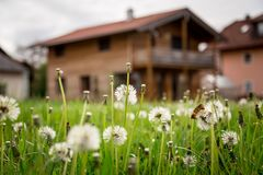 New home: Dandelion flowers in front of a house, springtime. Faded dandelion flowers in foreground, blurry house in the background new home spring springtime stock photos