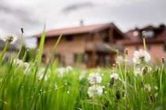 New home: Dandelion flowers in front of a house, springtime. Faded dandelion flowers in foreground, blurry house in the background new home spring springtime stock photo