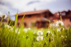New home: Dandelion flowers in front of a house, springtime. Faded dandelion flowers in foreground, blurry house in the background new home spring springtime stock image