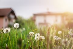 New home: Dandelion flowers in front of a house, springtime. Faded dandelion flowers in foreground, blurry house in the background new home spring springtime stock images