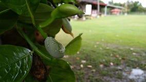 New hope of life. Fruit borneo wild royalty free stock photography