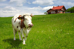 New house and cow in the field Stock Image