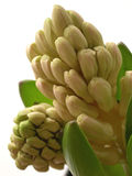 New Hyacinth. Detail of the buds on a new hyacinth royalty free stock image