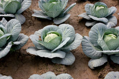 New hybrid cabbage-81 Stock Image