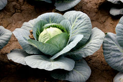 New hybrid cabbage-81 Stock Photo