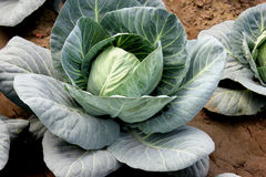 New hybrid cabbage-81. Brassica oleracea var capitata, hybrid line with small head size, compact head , high field retention capacity, suitable for North India stock photo