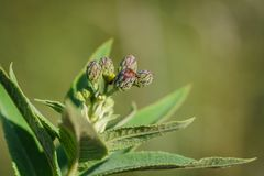 New ironweed plant royalty free stock image