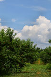 New Jersey Peach Field Royalty Free Stock Photo
