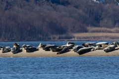 New Jersey Seals Stock Photography