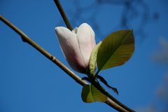 Magnolia bud in bright sunlight against blue sky royalty free stock images