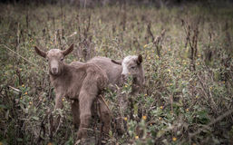New kids on the block...The two days old baby goats. Two days old baby goats roaming free around the field Royalty Free Stock Photo