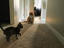 A new kitten tip toeing around her new home with two adults male stock photo
