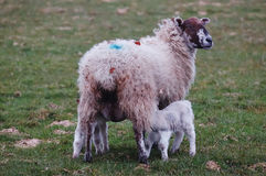 New Lamb and mum Stock Images