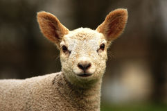 New Lamb Watching You Stock Photo