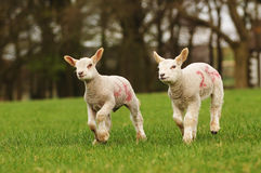 New Lambs Stock Photo