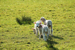 New Lambs Stock Images
