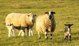 New lambs & mothers Stock Photo