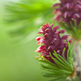 New larch cone Royalty Free Stock Images