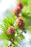 New larch cone Stock Image