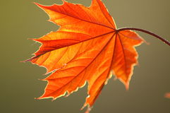 New Leaf. Newly formed maple leaf in the Spring Royalty Free Stock Photos