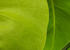 New Leaf Royalty Free Stock Photos