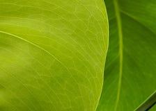 New Leaf Royalty Free Stock Photos