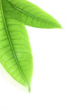 Two Green Money Tree Pachira Leaves Royalty Free Stock Photography