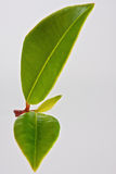 New leaf Stock Image