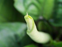 New Leaf of Aglaonema Plant Royalty Free Stock Photo