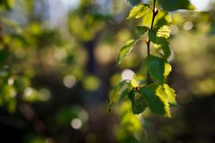 New leaf growing on birch Stock Photo
