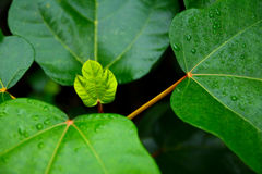 New leaf growth Stock Photography