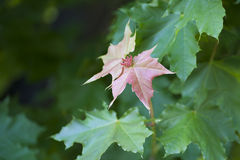 New Leaf Royalty Free Stock Photography