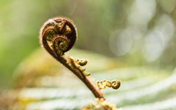 New leaf of New Zealand silver fern Stock Photos